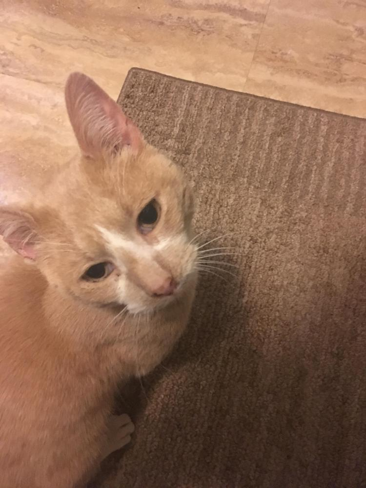 Found/Stray Male Cat last seen Hayes and 19 mile Clinton Twp , Arlington, VA 22202