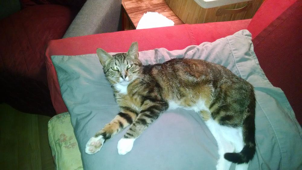 Lost Male Cat last seen Near S Houston Rd & Spring St, Warner Robins, GA 31095