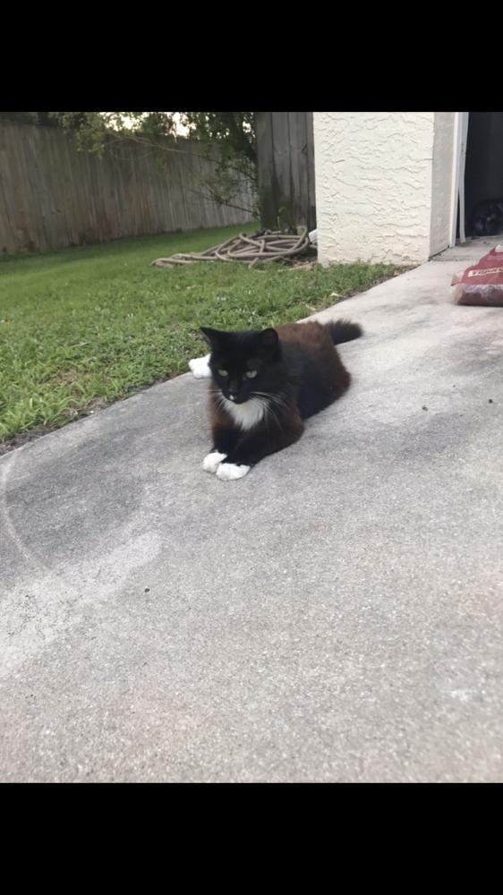Lost Female Cat last seen Near SE 2nd Ave Deerfield beach Florida , Deerfield Beach, FL 33441