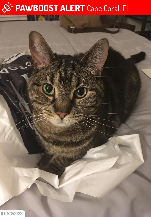 Lost Female Cat in Cape Coral, FL 33909 Named Shea (ID ...