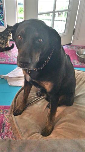 Lost Male Dog last seen Honaunau-Captain Cook near mile 108, Captain Cook, HI 96704