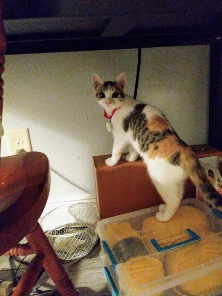 Lost Female Cat last seen On Luther Dr, Orange, TX 77632