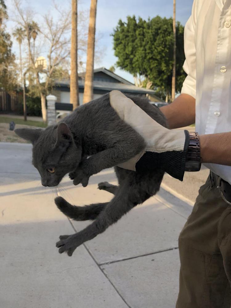 Found/Stray Male Cat last seen Near W Orangewood Ave & N 45th Cir, Glendale, AZ 85301