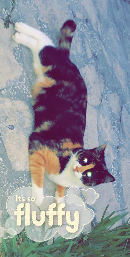 Lost Female Cat last seen Near NW 113th Ave & NW 115th Way, Sunrise, FL 33323