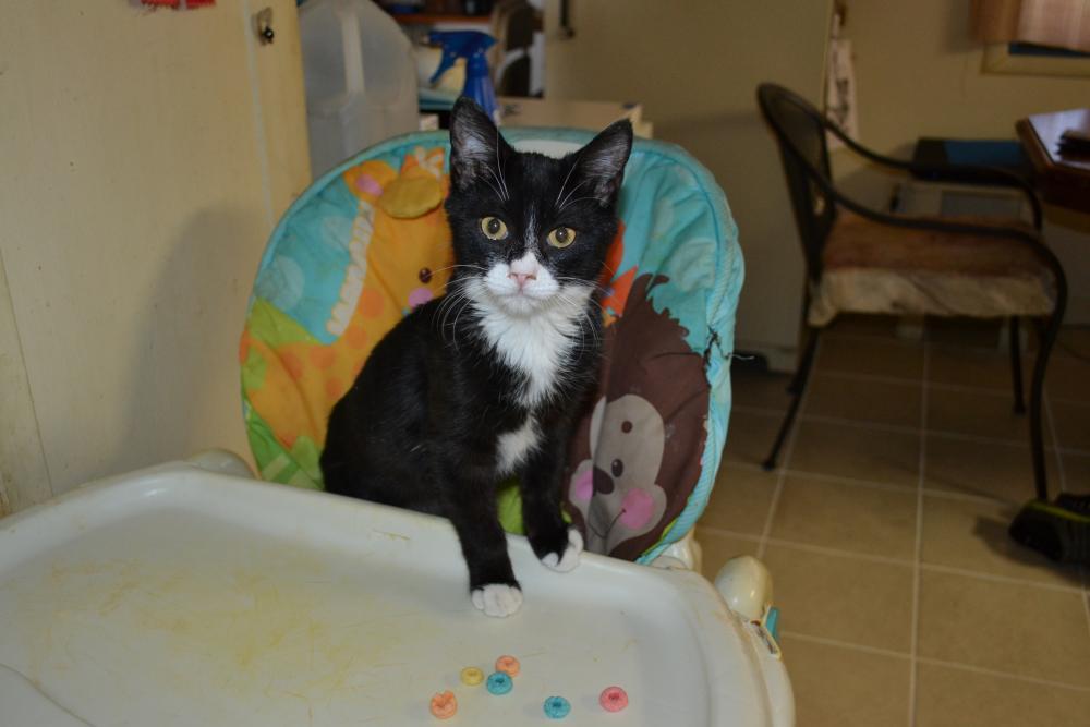 Lost Male Cat last seen Near E Andorra Dr & N 40th St, Phoenix, AZ 85032
