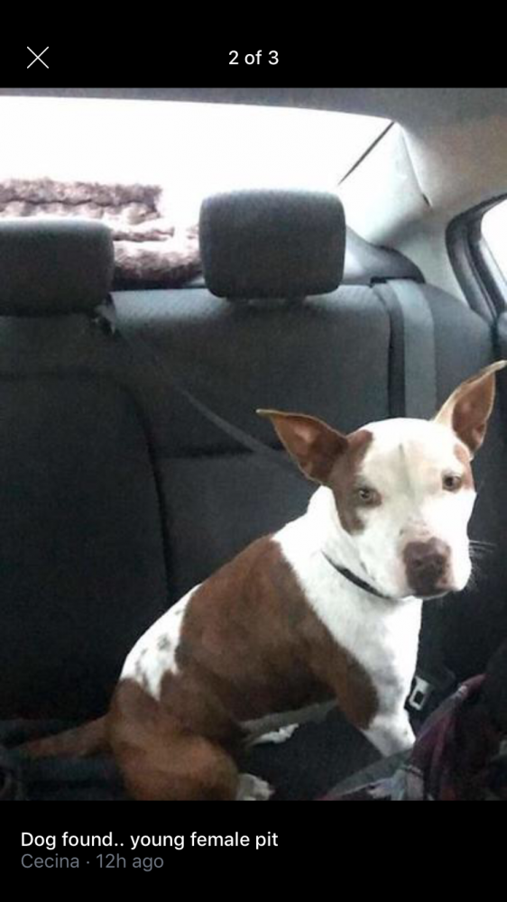 Found/Stray Female Dog last seen Near N Recker Rd & E Camelot Country Club, Maricopa County, AZ 85205