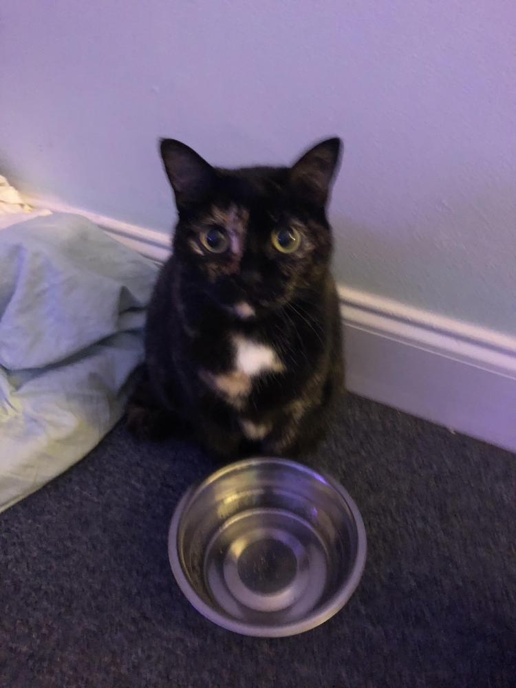 Lost Female Cat last seen Near NE 8th Ave & NE 2nd Ct, Hallandale Beach, FL 33009