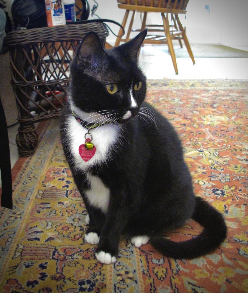 Lost Female Cat last seen Rainberry Lakes Villas, near 22nd street Delray Beach, FL, Delray Beach, FL 33445