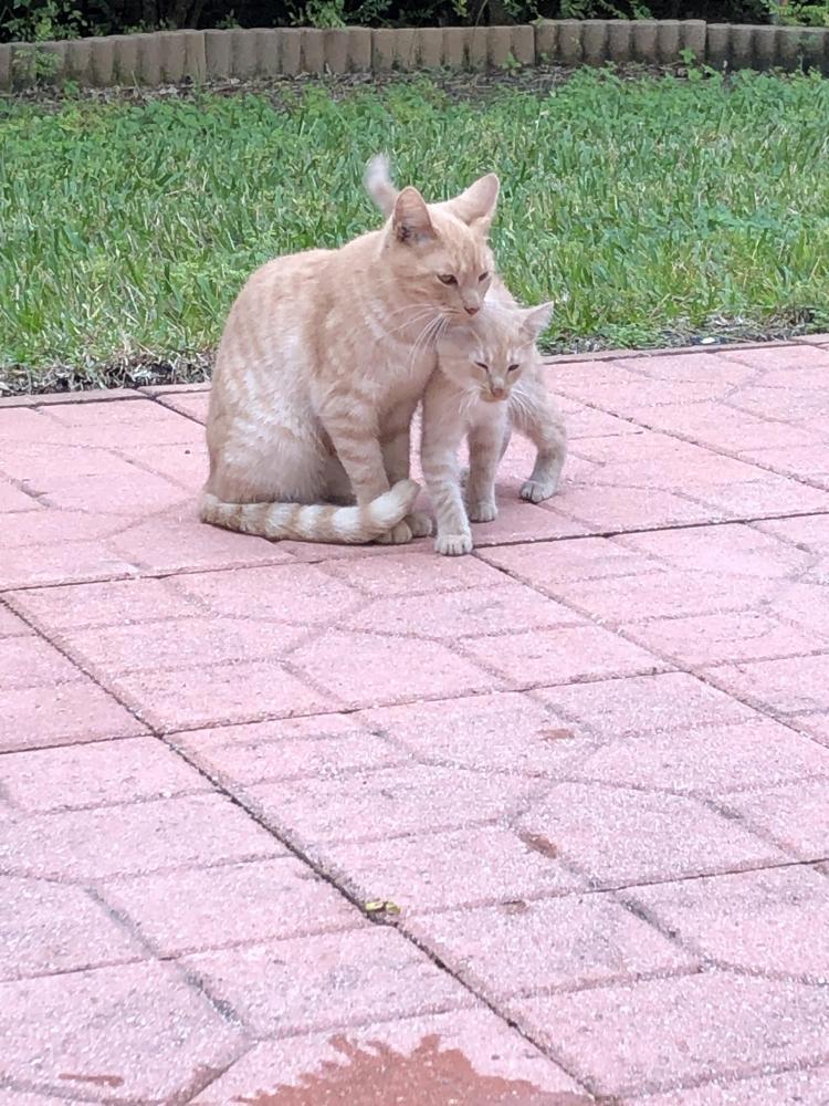 Found/Stray Female Cat last seen Near Lawrence Rd & Hypoluxo, Boynton Beach, FL 33436