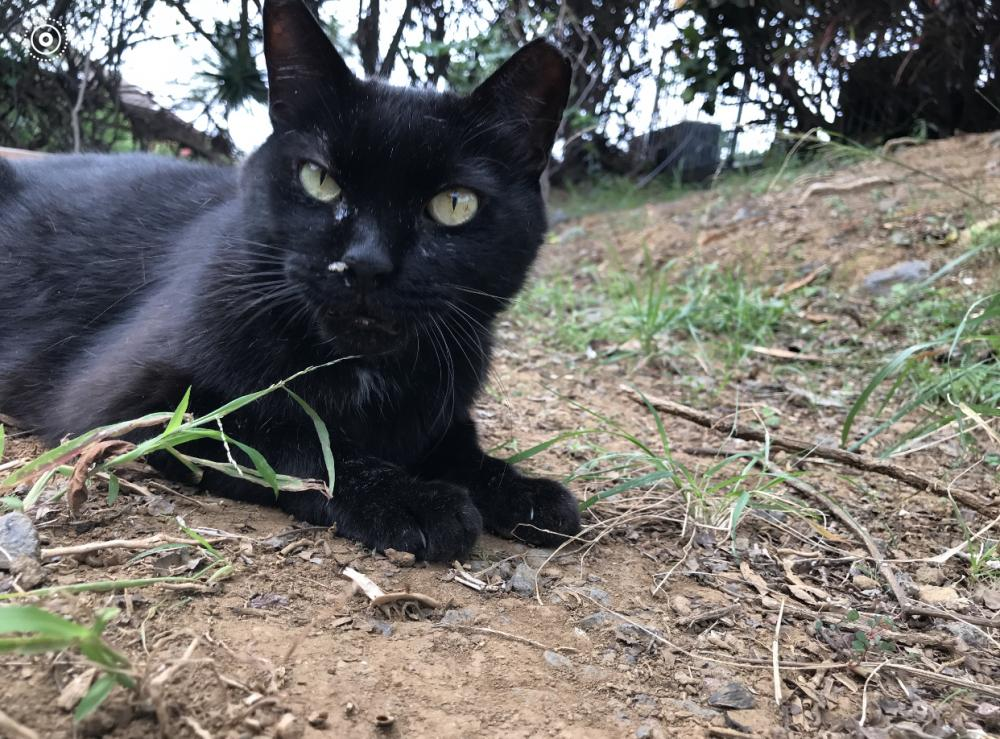 Lost Male Cat last seen Near Kaiminani Dr & Amaama St, Kalaoa, HI 96740