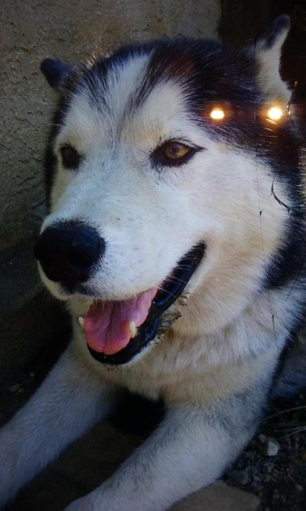Lost Male Dog last seen Near E 70th St & Olive Ave, Long Beach, CA 90805