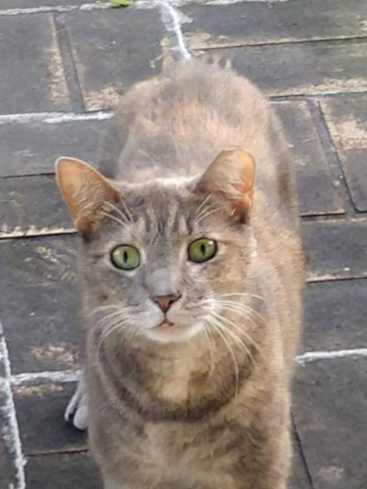 Found/Stray Female Cat last seen Near SW 18th St & SW 70th Ave, Plantation, FL 33317