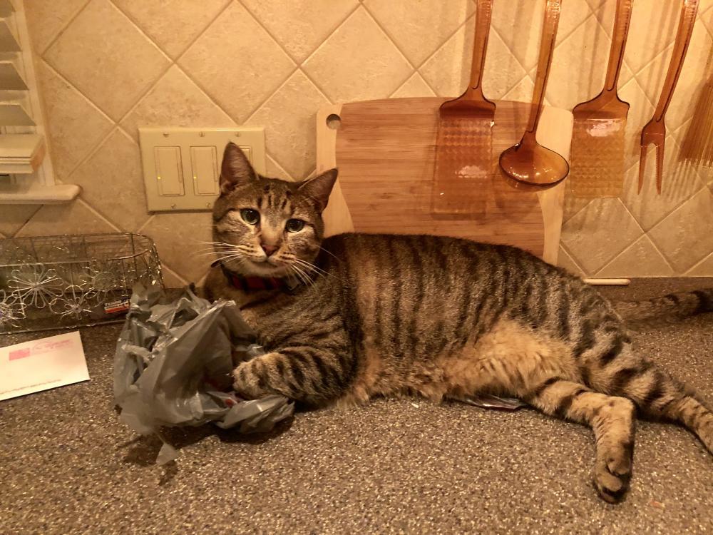Lost Male Cat last seen Near Emerson Dr & Franklin Way, Lafayette Hill, PA 19444