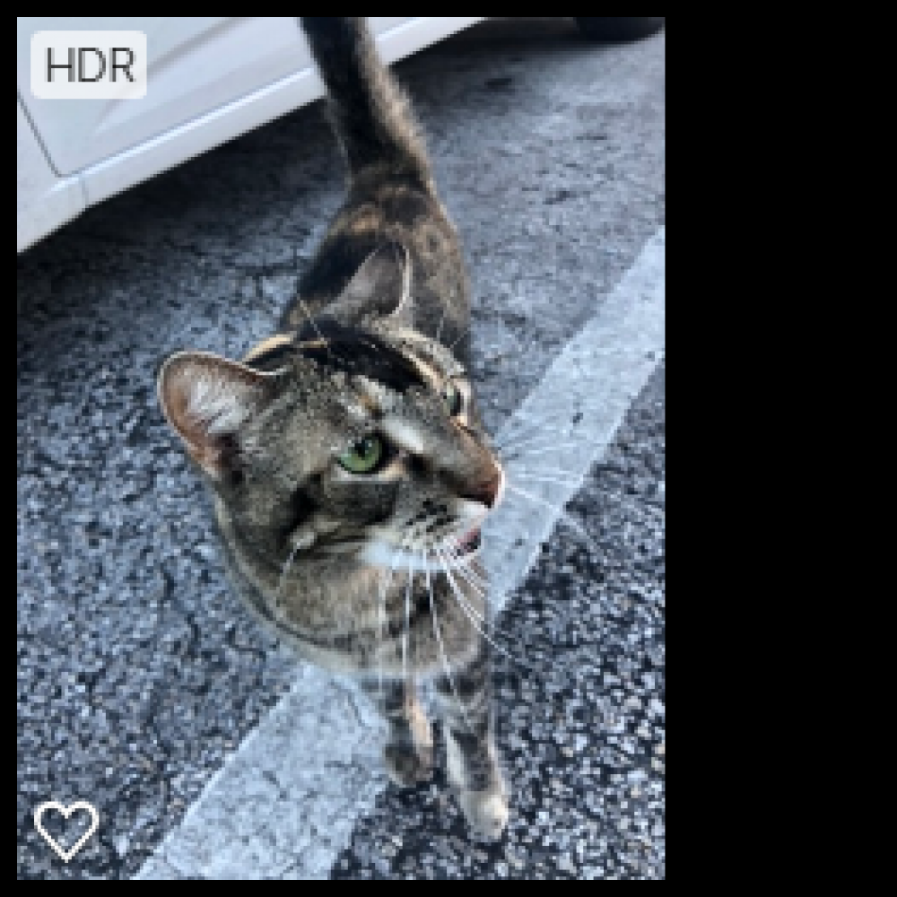 Found/Stray Female Cat last seen Near W Oakland Park Blvd & NW 29th Ave, Oakland Park, FL 33311