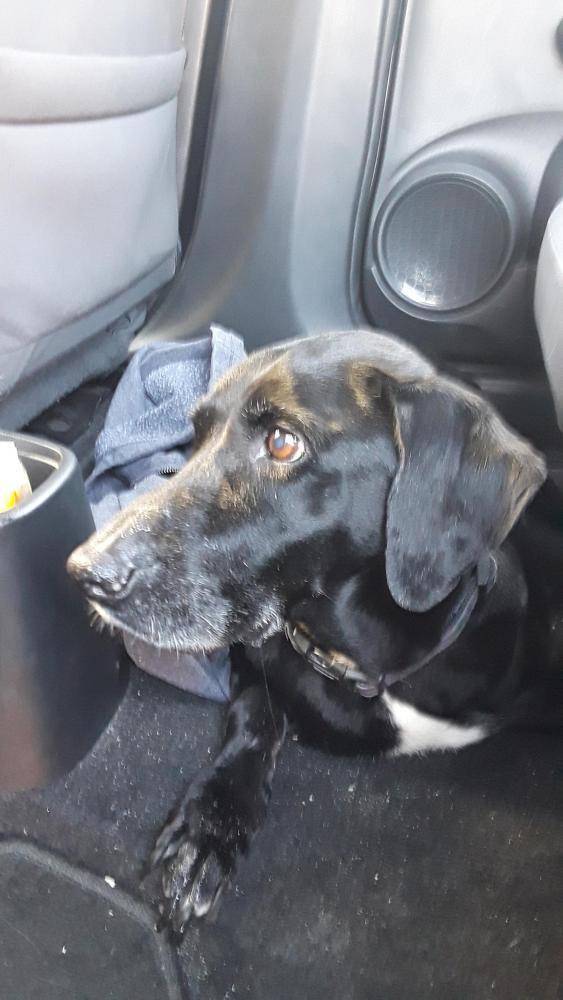 Found/Stray Female Dog last seen Near NW 13th Ct & NW 3rd St, Dania Beach, FL 33004