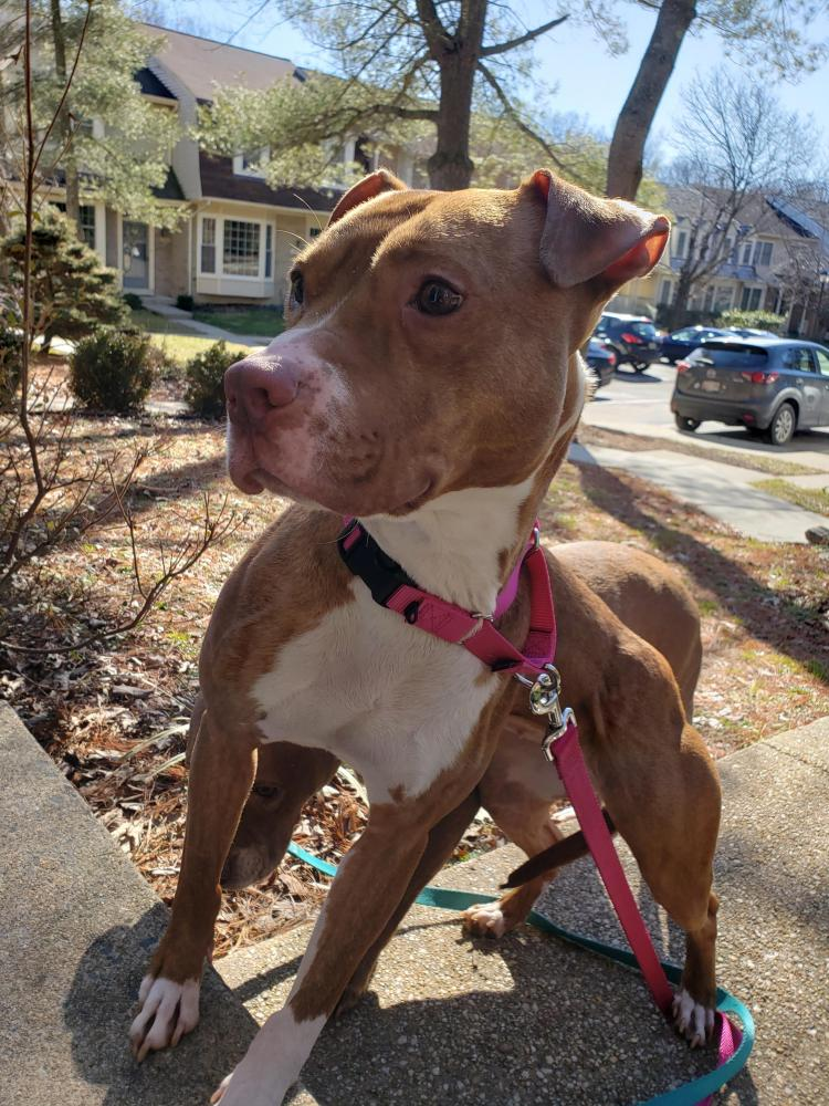 Lost Female Dog last seen Layhill Rd and Hathaway Dr., Aspen Hill, MD 20906