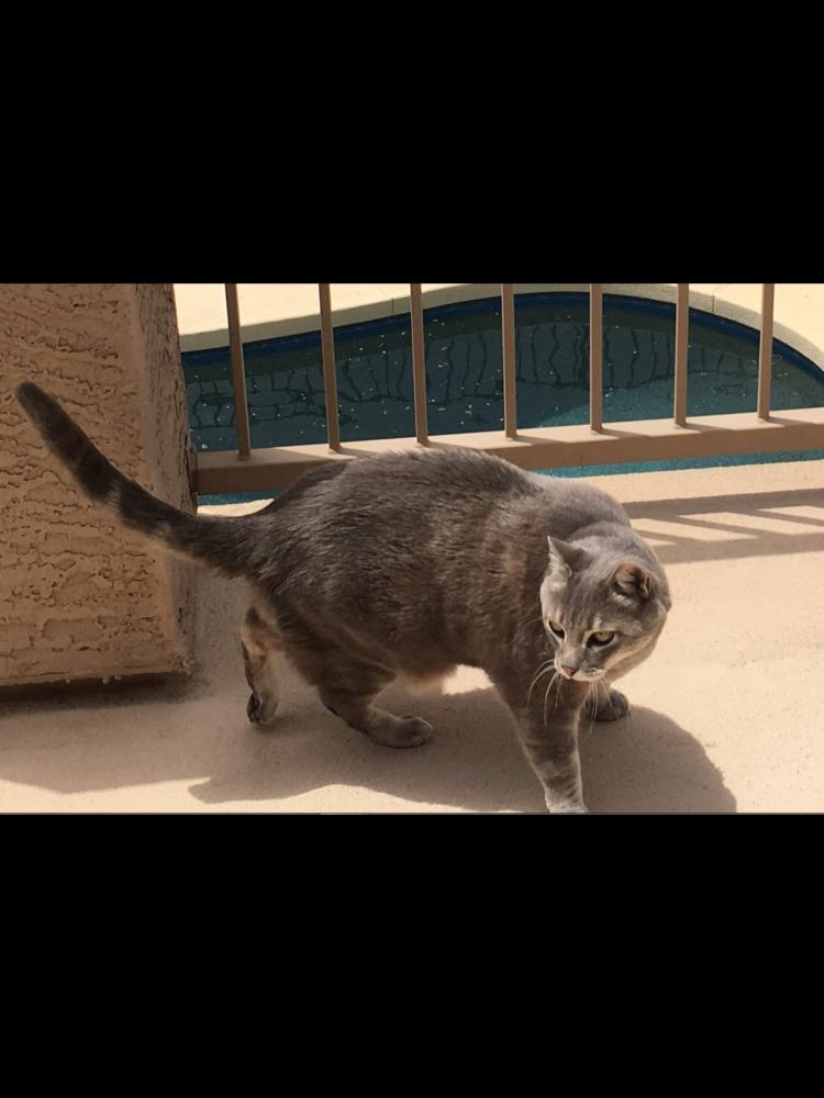 Lost Male Cat last seen Near S Cartier Dr & E Crest Ct, Gilbert, AZ 85298
