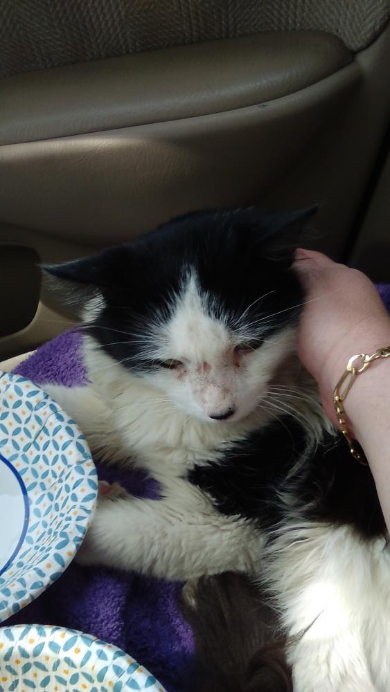 Found/Stray Male Cat last seen Near SW 135th Ter & SW 10th St, Pembroke Pines, FL 33027
