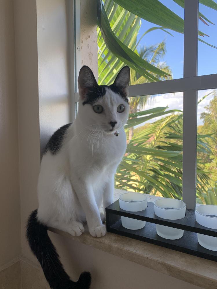 Lost Female Cat last seen Near NE 69th Cir & NE 69 Cir, Boca Raton, FL 33487
