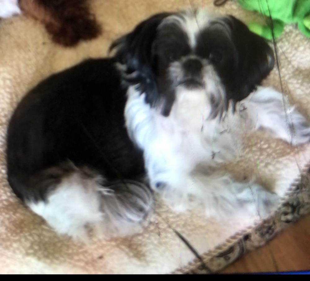 Lost Female Dog last seen Near NW 68th Ct  33309, Fort Lauderdale, FL 33309