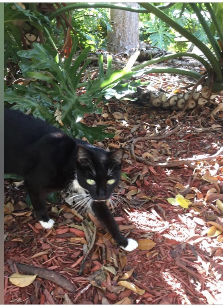 Found/Stray Female Cat last seen Near Madeira Dr & Pompeii Ct, Weston, FL 33327