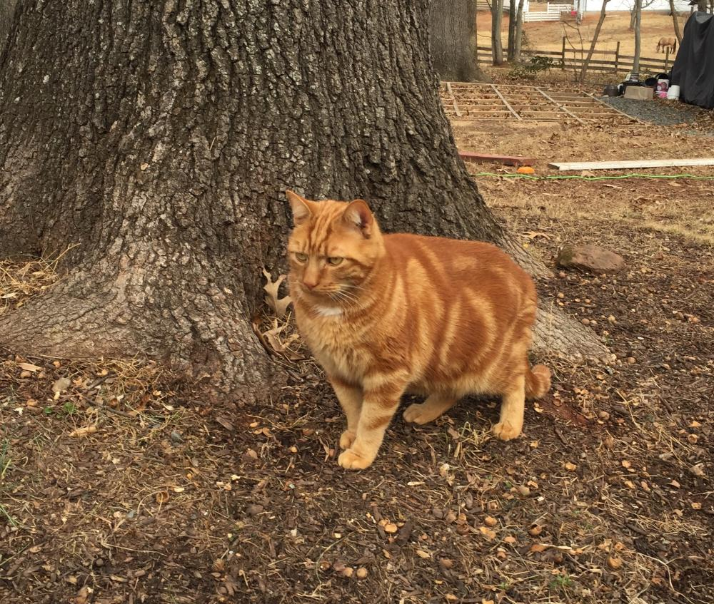 Lost Male Cat last seen Near Bradley Forest Rd & Forestview Dr, Manassas, VA 20112