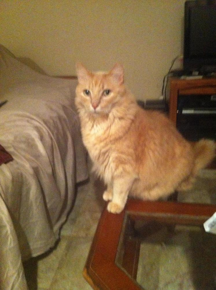 Lost Male Cat last seen Near Sullivan Pl & Melrose St, Buena Park, CA 90621