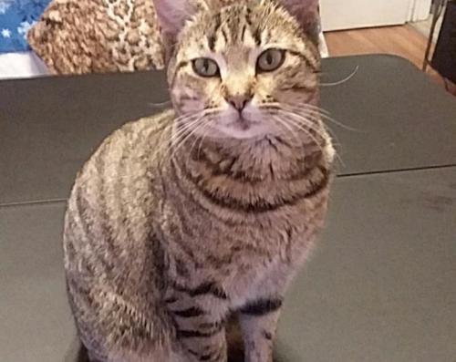 Lost Female Cat last seen Near Polk Ave & College St, Orange, TX 77630