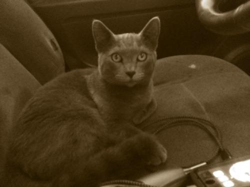 Lost Female Cat last seen Near Lindsey Rd & Kapiolani Rd, Waimea, HI 96743