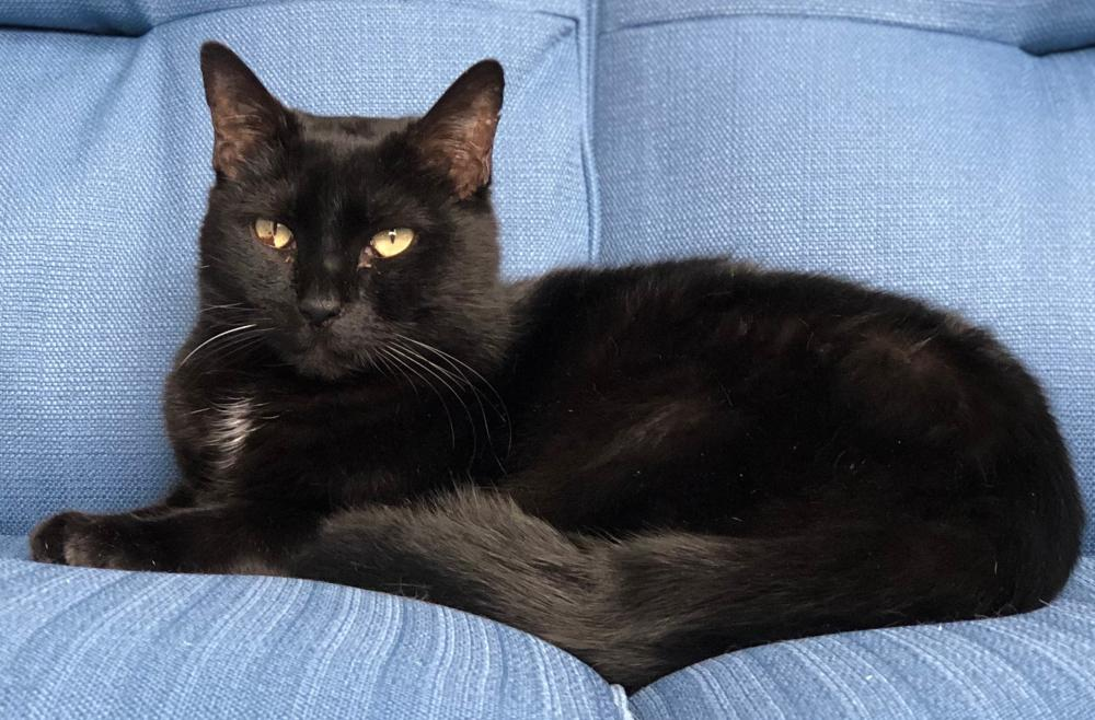 Lost Male Cat last seen Windward Ct and Southlake Blvd, Montclair, VA 22025