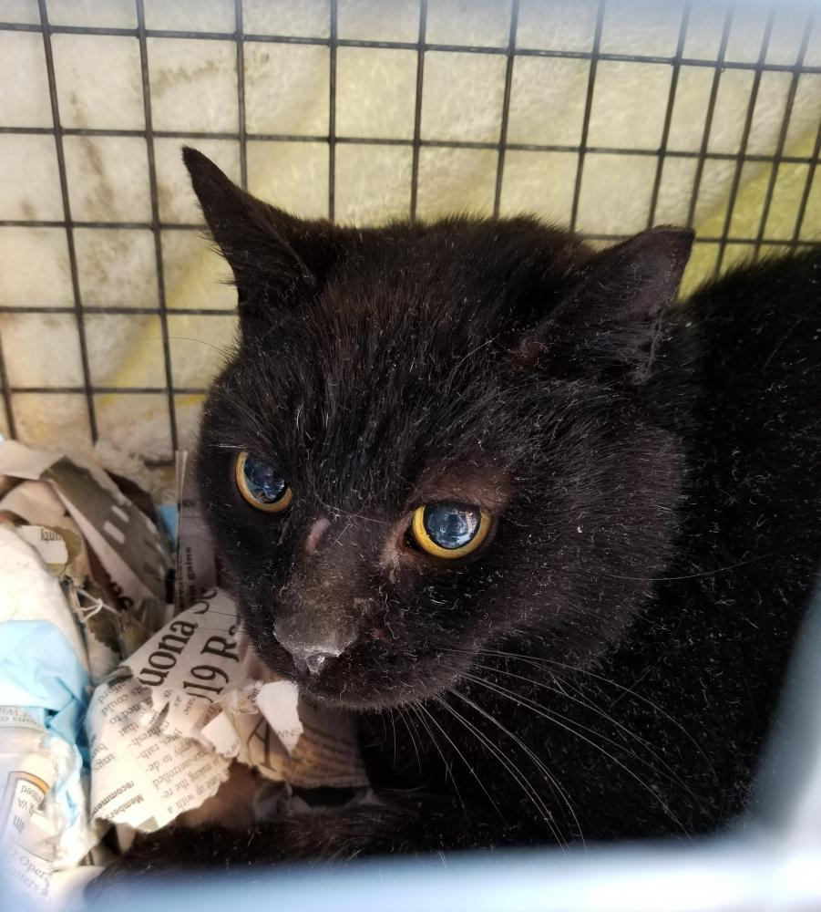 Found/Stray Male Cat last seen Near Burnell Pl SE & Jennings Ct SE, Leesburg, VA 20175