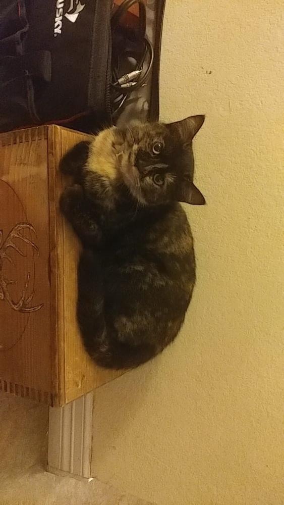 Lost Female Cat last seen Near Wadford Dr & Perry Commons Dr, Raleigh, NC 27616