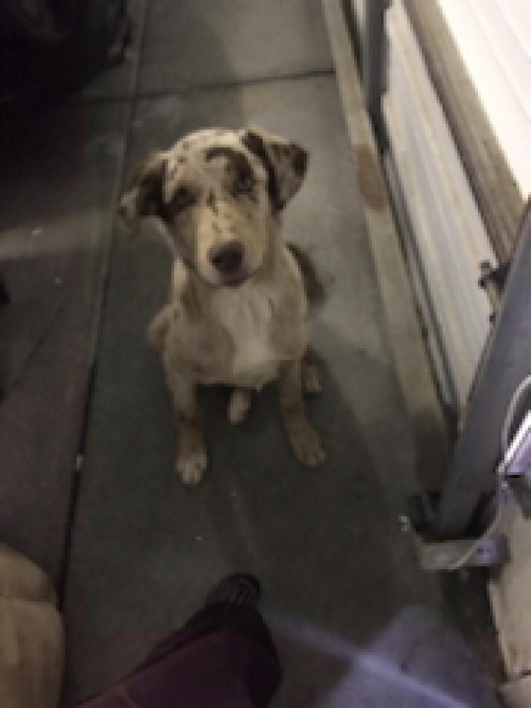 Found/Stray Male Dog last seen Byron Hwy & Balfour Rd, Brentwood, CA 94513