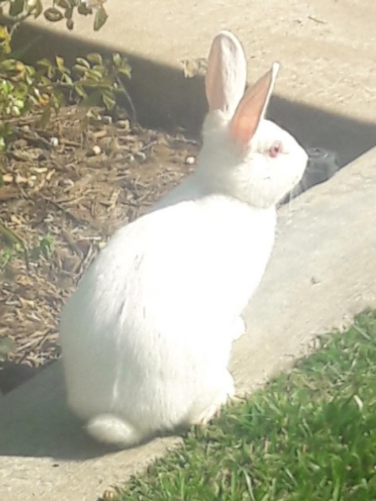 Found/Stray Unknown Rabbit last seen Central Park - Mountain House, Mountain House, CA 95391