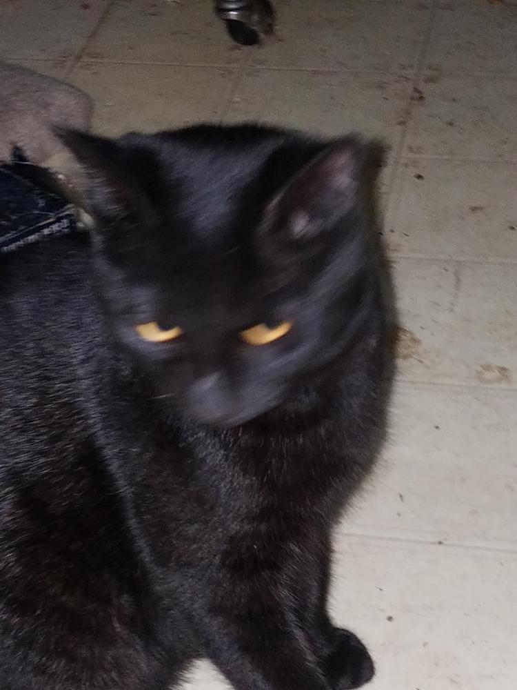 Lost Male Cat last seen Near N 85th Dr & W el Caminito Dr, Peoria, AZ 85345