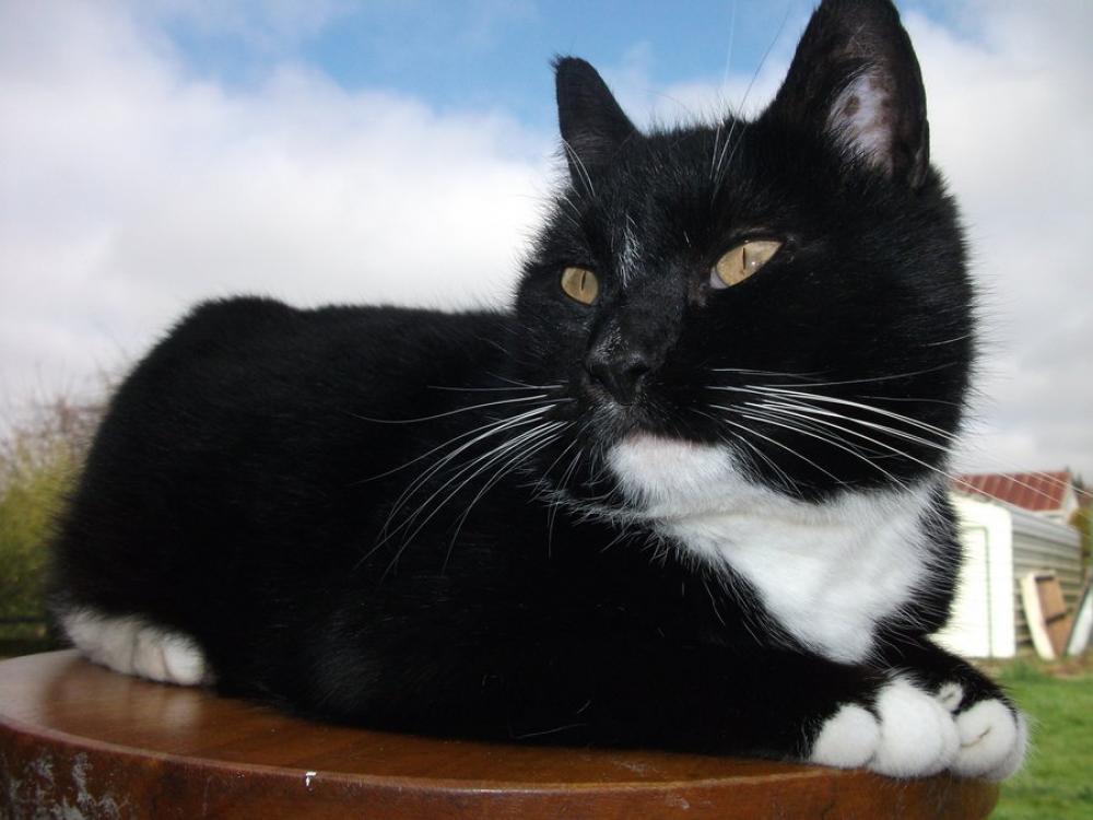 Lost Male Cat last seen Near Tebbs Ln & Tompkins Ct, Dumfries, VA 22026
