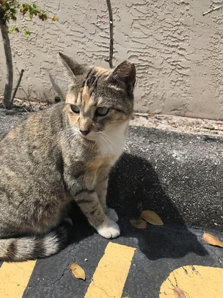 Found/Stray Unknown Cat last seen N Blount Road and Copans Street , Pompano Beach, FL 33069