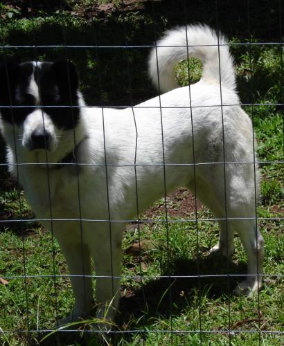 Lost Male Dog last seen Near Puni Mauka Loop South, Hawaiian Beaches, HI 96778