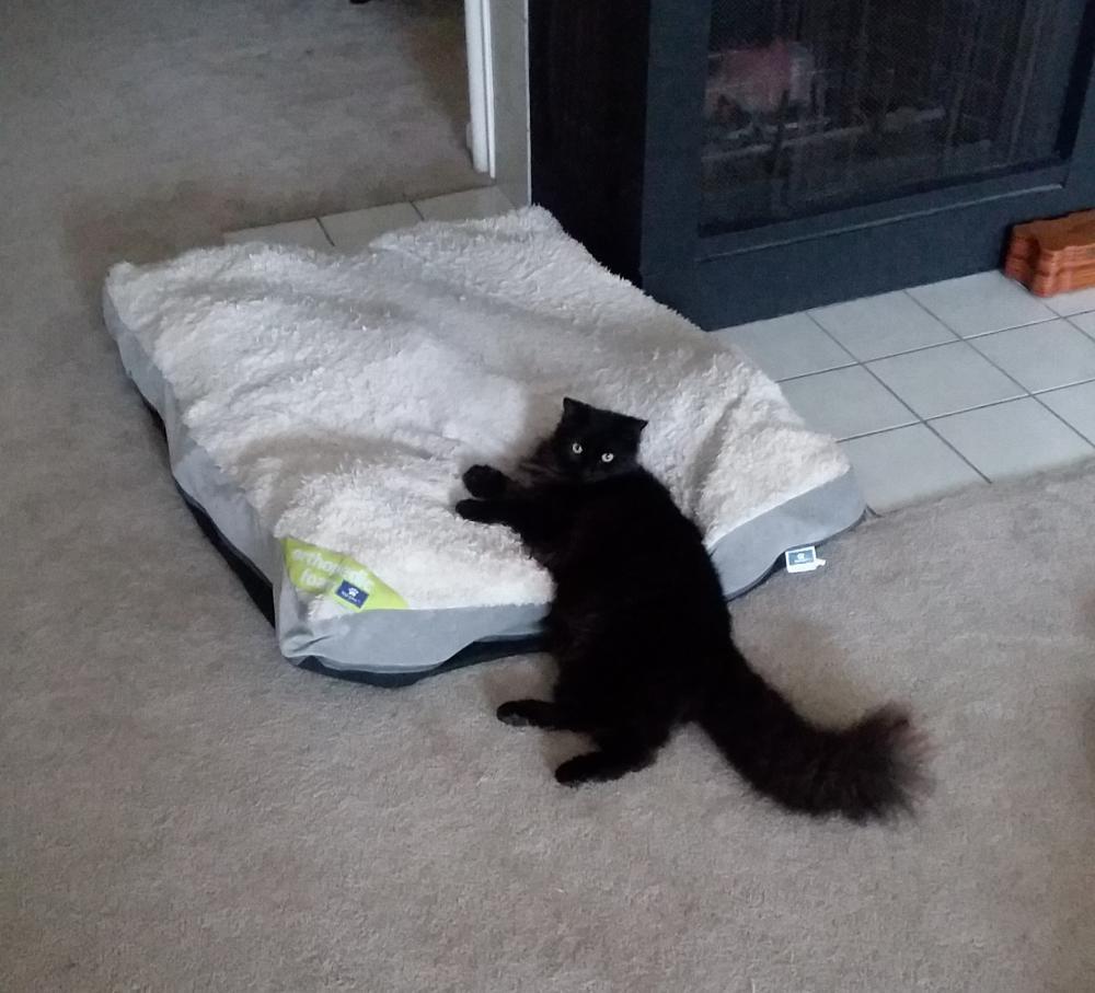 Lost Male Cat last seen Near Village Hills Dr & Valley Palms Dr, Colony Creek Village, TX 77379