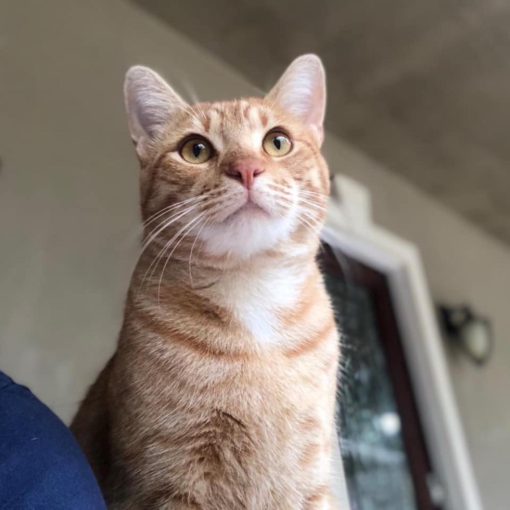 Lost Male Cat last seen Near Mohawk Dr & Cheyenne , Montgomery County, TX 77316