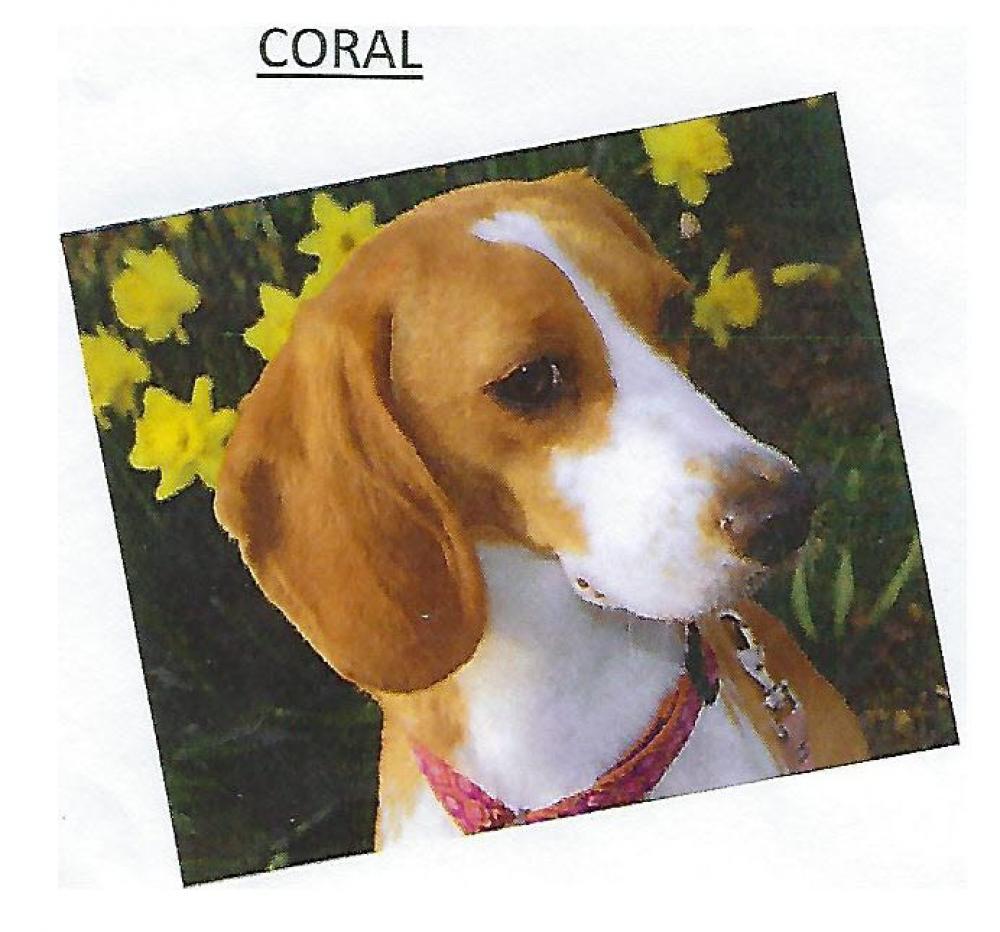 Lost Female Dog last seen Near 36th St & Shepherd St, Mount Rainier, MD 20712
