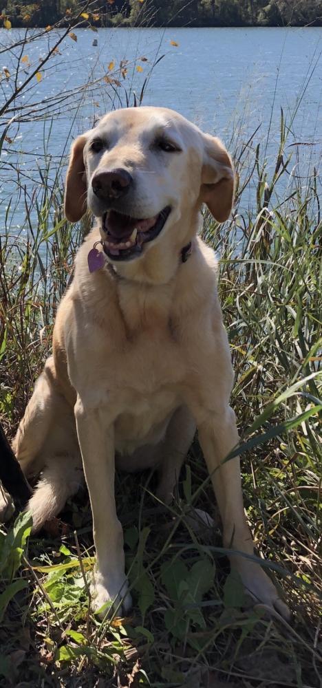 Lost Female Dog last seen Saunders Lane, Bethesda, MD, USA, Potomac, MD 20817