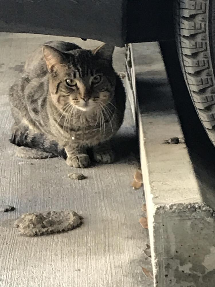 Found/Stray Unknown Cat last seen Near SE 3rd Ave & Court House Dr, Fort Lauderdale, FL 33301