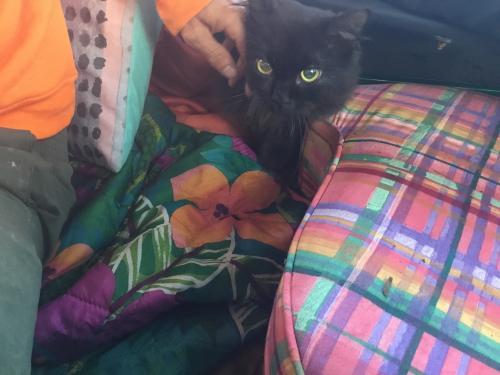 Lost Male Cat last seen 13-9999 Kamaili rd, Pahoa hi, 96778, P?hoa, HI 96778