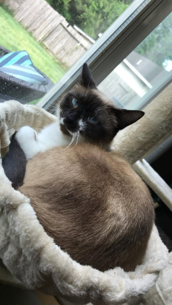 Lost Female Cat last seen Phelan, dowlen, Beaumont, TX 77702