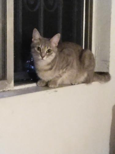 Lost Female Cat last seen Gault and woodman, Los Angeles, CA 91405