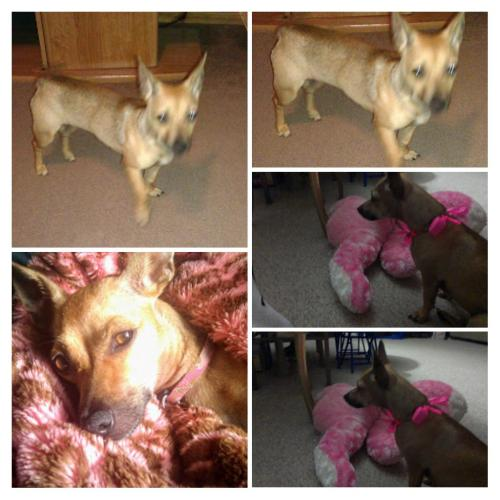 Lost Female Dog last seen Near 31st Ave & Paradise Dr, Keaau, HI 96749