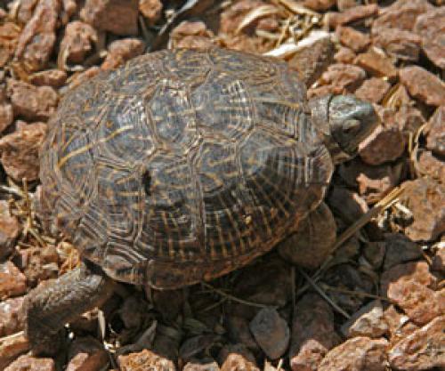 Lost Male Reptile last seen Near W 3rd St & N Date, Mesa, AZ 85201