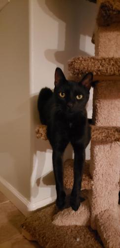 Lost Male Cat last seen Near Kinimaka Rd & Old Mamalahoa Hwy, Hawaii County, HI 96727