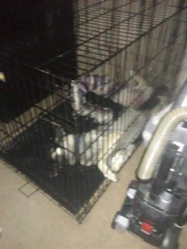 Lost Male Dog last seen Old Spurger Highway, Silsbee, Texas, USA, Hardin County, TX 77656